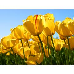 Tulip05/36さん
